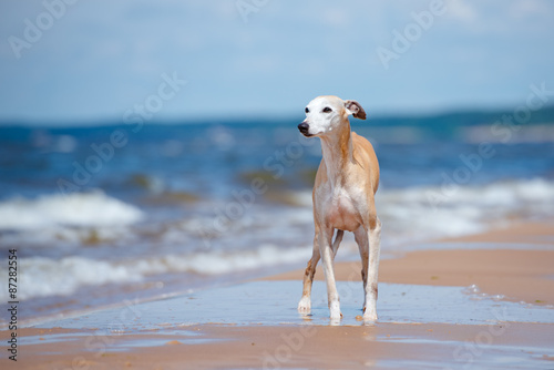 Cuadros en Lienzo red whippet dog standing on the beach