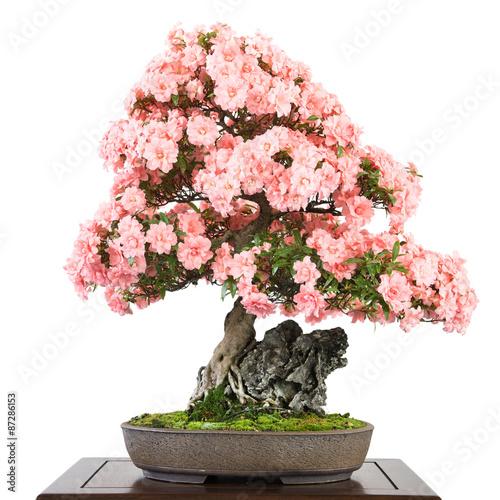 Spoed Fotobehang Bonsai Azalee als Bonsai mit rosa Blüten