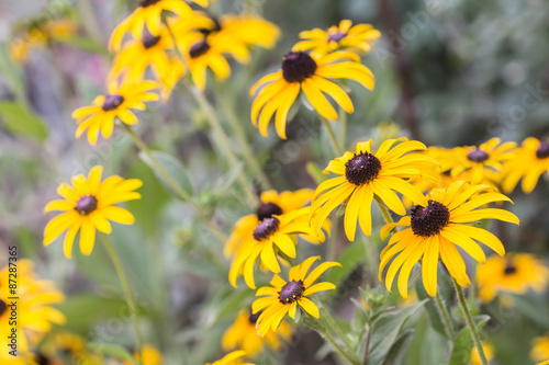 Valokuva  Bright yellow rudbeckia or Black Eyed Susan flowers