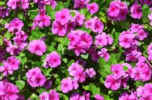 Pink Impatiens Flowers