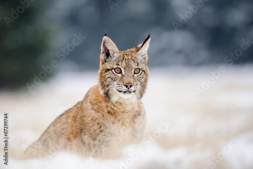 Wall Murals Lynx Eurasian lynx cub on sitting snowy ground