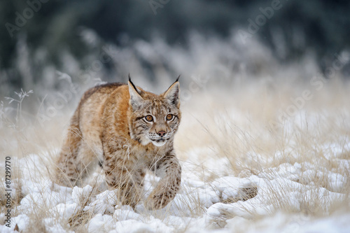 Fototapeta premium Eurasian lynx cub walking on snow with high yellow grass on background