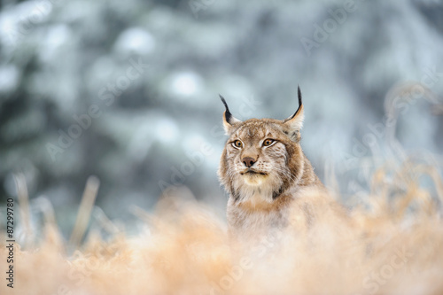 Poster Lynx Eurasian lynx sitting on ground in winter time