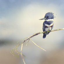 Belted Kingfisher Watercolor