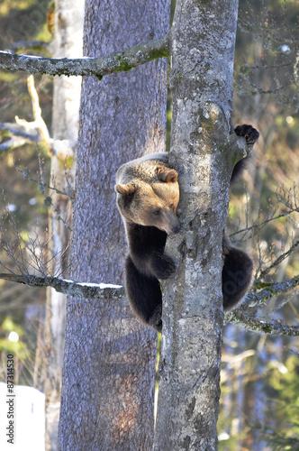 Foto op Plexiglas Alpinisme Bär auf Baum