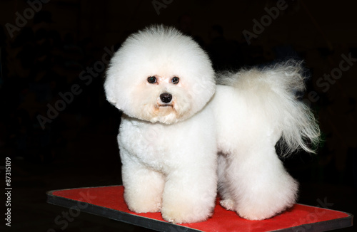 Photo Bichon stands. The bichon stands on the table in the dog show.