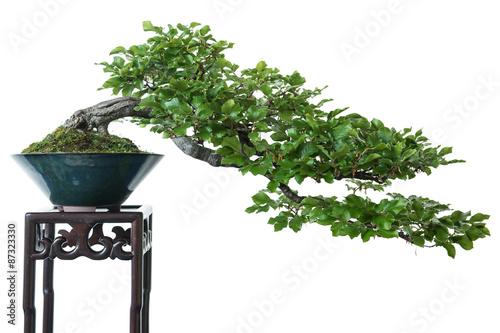 Spoed Fotobehang Bonsai Buche als Bonsai Baum