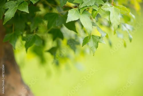 Nahaufnahme Laub Ahorn Bonsai Baum