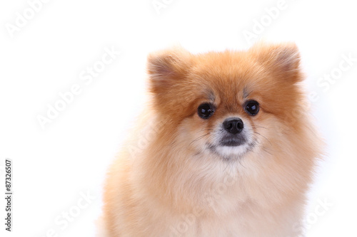 Brown Pomeranian Dog Isolated On White Background Buy This Stock