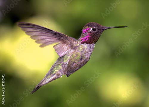 Hummingbird in Flight, Color Image, Day Poster