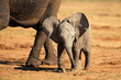 canvas print picture - A cute baby African elephant (Loxodonta africana), Addo Elephant National Park, South Africa
