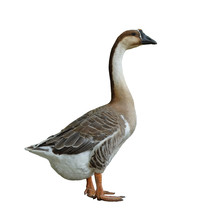 Domestic Goose On White Background