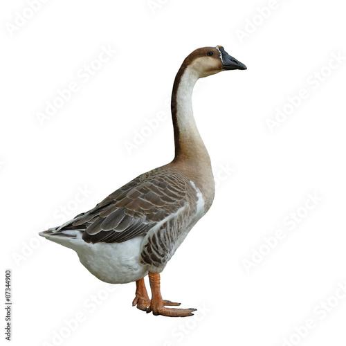 Tela domestic goose on white background