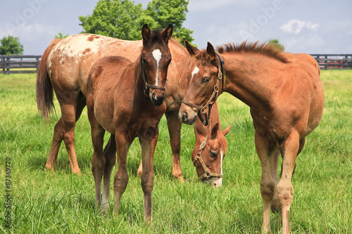 Fotografie, Obraz  Mare Horse and Colts in a Kentucky Pasture