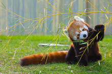 The Panda Red Or Lesser Panda ...