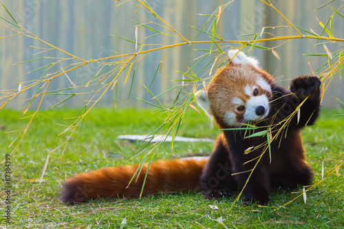 La pose en embrasure Panda The panda red or lesser panda (Ailurus fulgens)