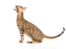 Bengal Kitten In Profile Meowi...