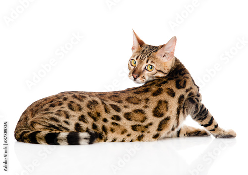 Bengal cat looks back. isolated on white background Canvas Print