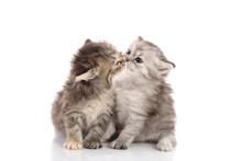 Two Cute Kitten Kissing
