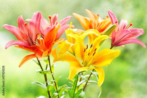 fototapeta na szkło bukiet lilii różnych