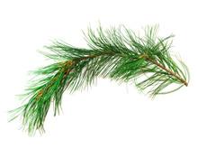 Branch Cedar On A White Background