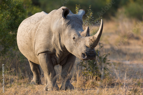 White Rhino Canvas-taulu