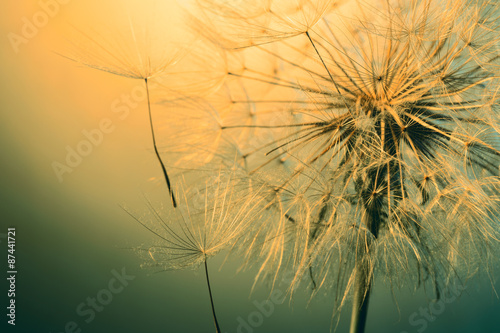 close up of beautiful dandelion #87441721