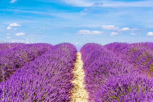 Tuinposter Lavendel Blossoming lavender fields in Provence, France.