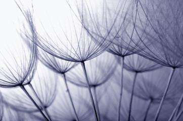 Fototapeta samoprzylepna dandelion seeds