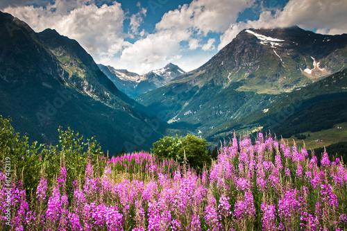 Fotografie, Obraz  fiori di montagna - Valmalenco - Italia