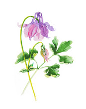 Aquilegia Isolated On White, Watercolor