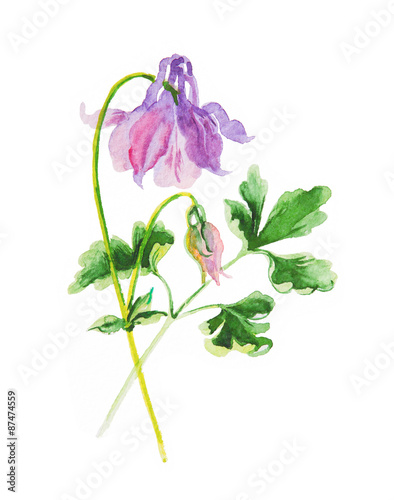 Photographie aquilegia isolated on white, watercolor
