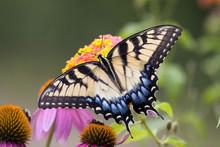 Swallowtail Butterfly Feeding On Lantana