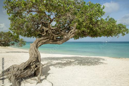 Photo  Divi divi trees on Eagle beach - Aruba island