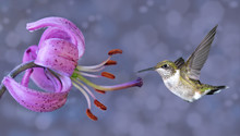 Annas Hummingbird In Flight With Purple Flower