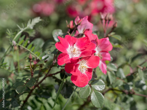 Tuinposter Azalea wild rose in summer