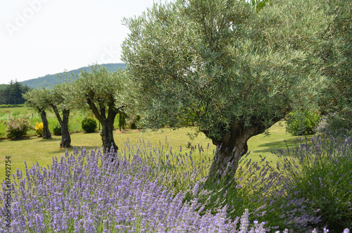 La pose en embrasure Oliviers Lavender flower with beautiful olive trees