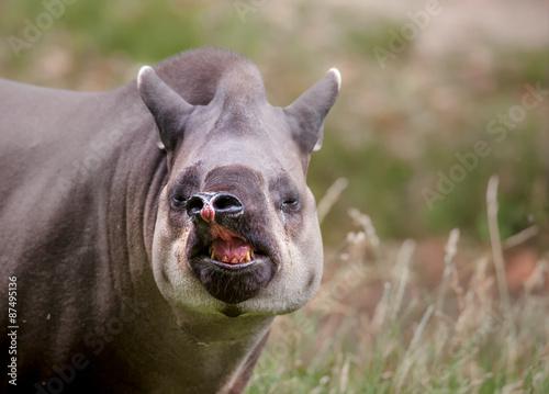 Photo  South American tapir