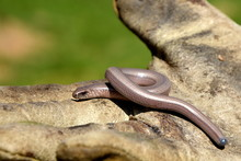 Slow Worm On The Work Glove