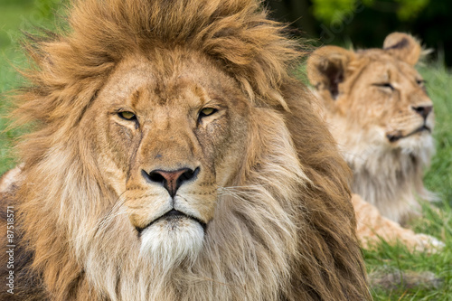 Foto op Plexiglas Leeuw Father and Son, Lion and male lion cub