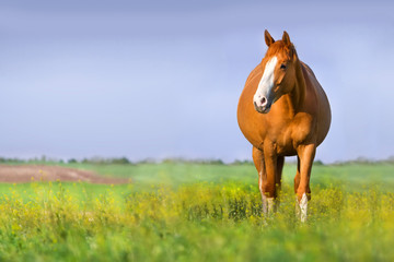 Red pregnant mare in spring pasture