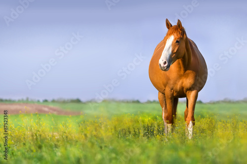 Foto op Canvas Paarden Red pregnant mare in spring pasture