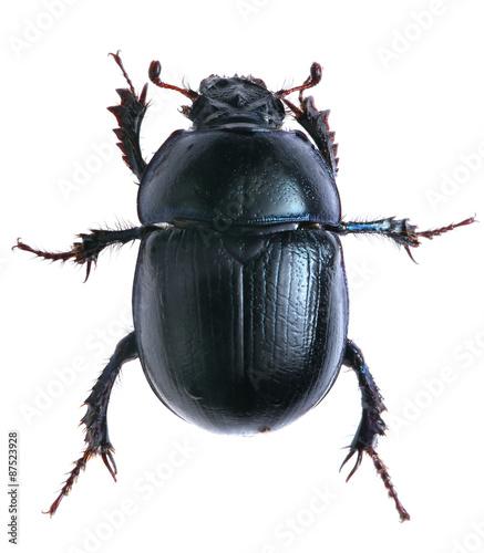 Cuadros en Lienzo black beetle isolated on white background. Macro.
