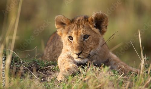 Fotobehang Leeuw Lion cub