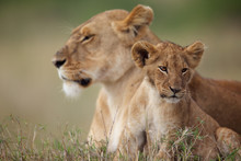Lion Cub With Its Mother In The Background
