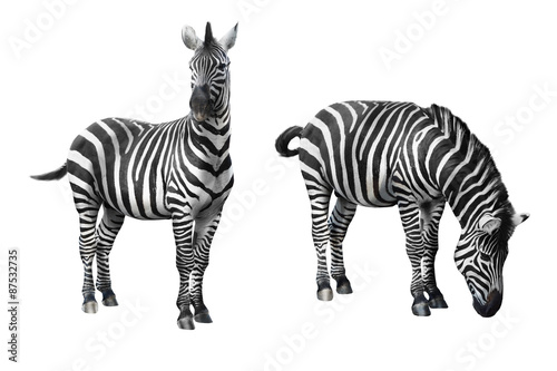 Montage in der Fensternische Zebra Zebra isolated on white background