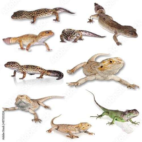 Gecko, Leopard Gecko, Reptile. Wall mural