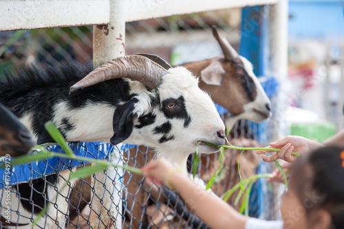 Cuadros en Lienzo  goat