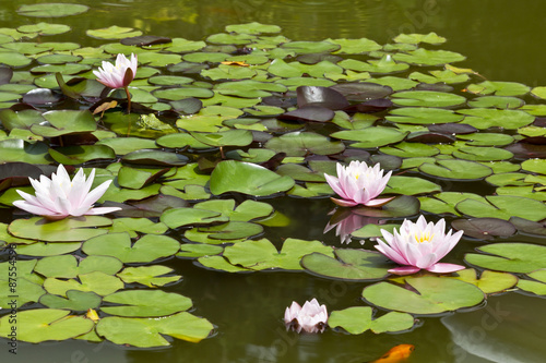 Fototapeten Natur Nymphaea, whity-pink nymphea - water plants