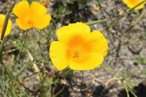 Yellow mexican prickly poppy flower or flowering thistle cardo yellow mexican prickly poppy flower or flowering thistle cardo cardosanto mightylinksfo